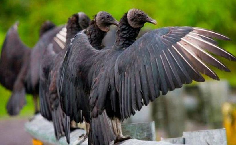 los zopilotes de color negro leyenda maya