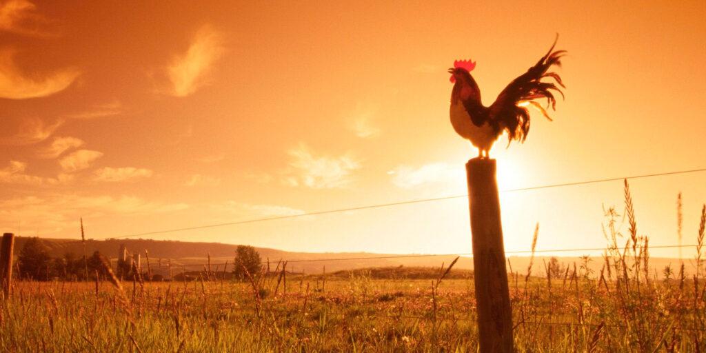 por qué los gallos cantan al amanecer