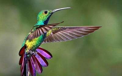 leyenda del colibri maya