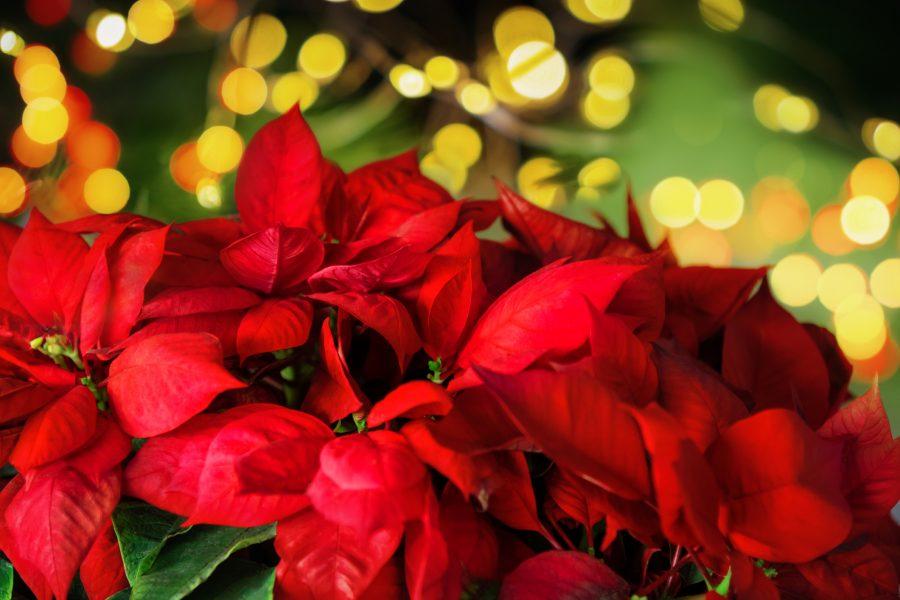 leyenda de la flor de navidad
