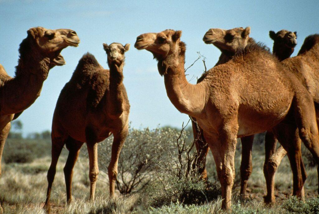 leyenda del camello y el zorro