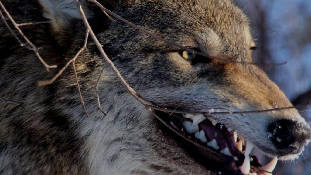 leyenda de los lobos que pelean